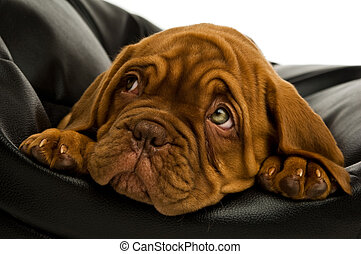 Dogue De Bordeaux puppy on a black bean bag