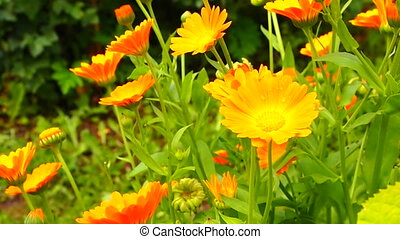 calendula - marigold flowers, flowerbed