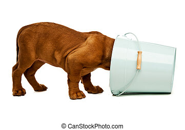 Dogue De Bordeaux puppy with its head in a blue bucket...