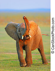 Baby Elephant - raised trunk - Baby Elephant with trunk...