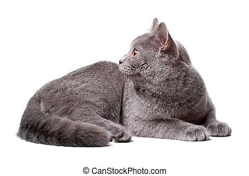 Young gray cat isolated on the white background