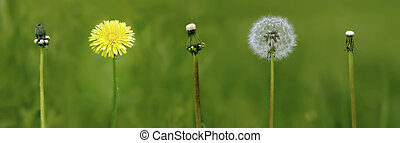 dandelion - evolution period to lifes of the dandelion