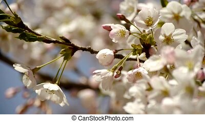 beautiful cherry blossoms tremble