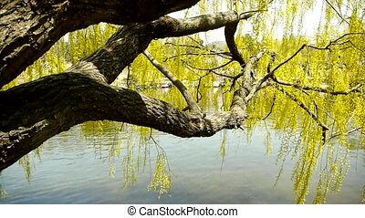 Dense willows by sparkling lake