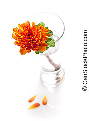 orange chrysanthemum flower in a vase on a table against white background