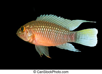 Apistogramma sp Nanay is - Identification picture for the...