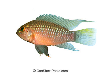 Apistogramma sp Nanay wt - Identification picture for the...
