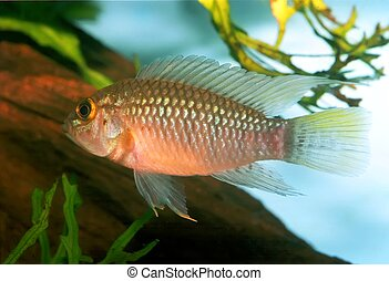 Apistogramma sp Nanay - Identification picture for the...