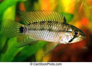 Apistogramma sp. emerald - Identification picture for the...