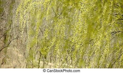 Willow branches swaying in wind.