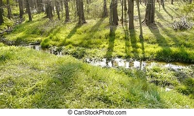 Sunlight woods.Weeds by river,dense cedar dawn-redwood...