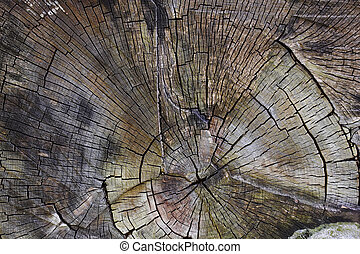 Tree trunk cut - Structure wood a background - a tree trunk...