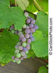 Concord grapes - Ripening concord grapes on the vine