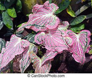 Plant with decorative crimson leaves - Caladium