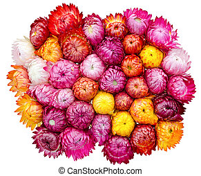straw flower or everlasting in the market at...