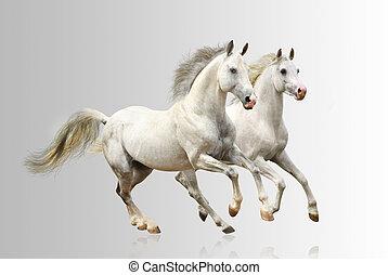 blanco, caballos