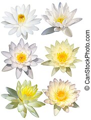 Water lily isolate on the white background
