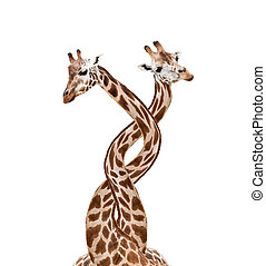 Bounded giraffes - Two bounded giraffes, isolated on white...