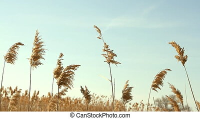High reed against cloudy sky in wind day