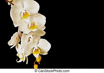 White Orchid on Black Background - A white orchid stands out...