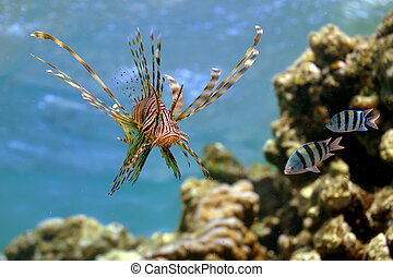 Lionfish Pterois volitans on Coral Reef in the Red Sea,...