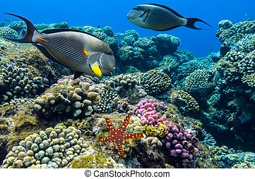 Tropical fish Acanthurus sohal and Coral reef, Red Sea,...