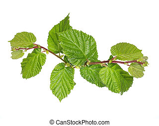 hazel - Hazel foliage under studio lighting