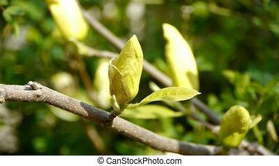 Beautiful magnolia flower bud
