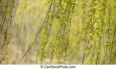 Willow branches swaying in wind
