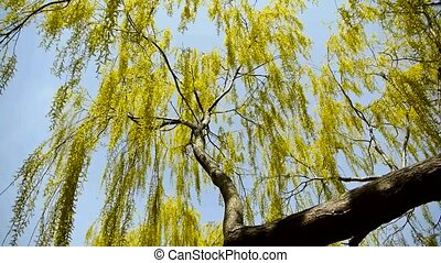 Dense willows by sparkling lake,blue sky background.