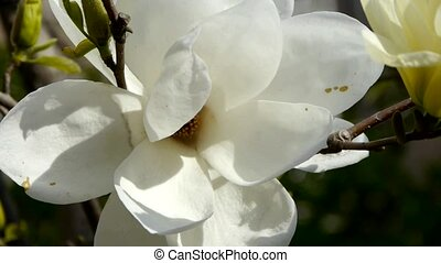 Beautiful magnolia bloom