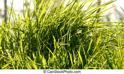 Lush weeds in wind,grassland