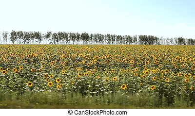 sunflower field over cloudy blue sky