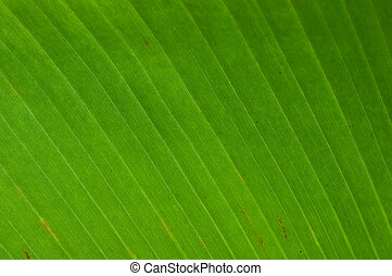 banana leaf texture - green banana leaf texture background