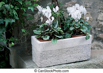 Cyclamen flowers in a stone pot