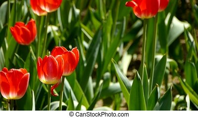 Tulips in full bloom.