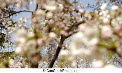 beautiful cherry blossoms tremble in wind