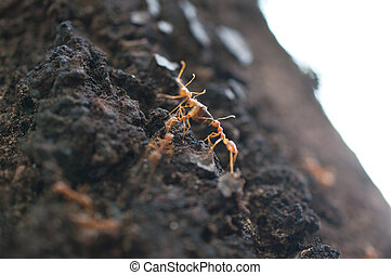 red ants on the tree