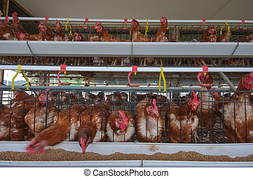 chicken farm - Red chickens in cell sections