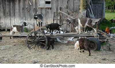 goats in the old farm on carriage - goats in the old farm on...