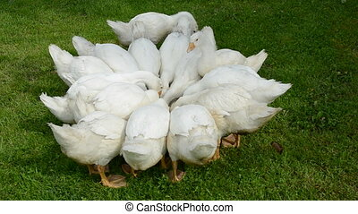 white gooses group nutrition in the farm