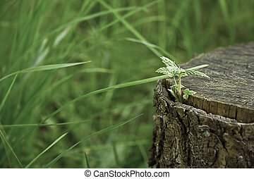 Sprut from stump - sprout on stump