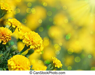 tagetes flower - Close-up of tagetes flower.Summer...