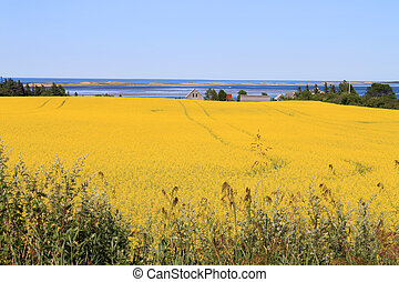 PEI summer landscape - Summer landscape with rapeseed fields...