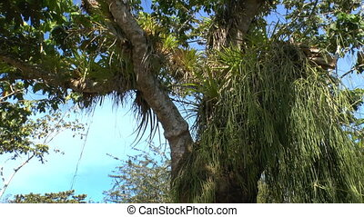 Tree with epiphyte plants in Topes de Collantes, Cuba