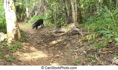 Wild black hog in Topes de Collantes, Cuba