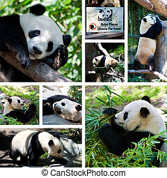 Panda collage with eight photos