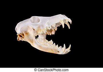 Skull of a coyote (canis Latrans) on a black background with...