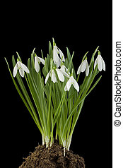Snowdrop flowers Cut Out - Turf of Snowdrop flowers Isolated...