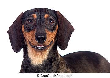 Beautiful dog teckel smiling isolated on white background